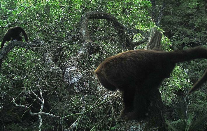 Depois de 200 anos, bugios voltam a procriar no Parque Nacional da Tijuca
