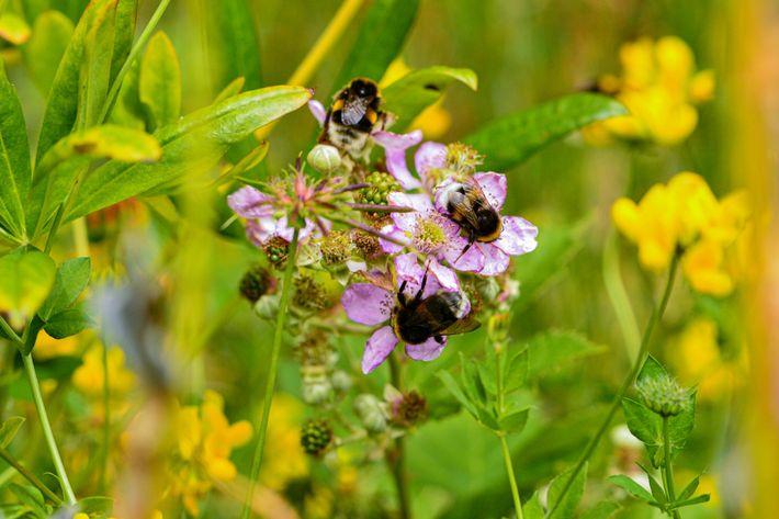 Mamangavas-de-cauda-amarela-clara, originárias da Europa, buscam alimento em flores de amora em Puerto Blest, Argentina. As espécies ...