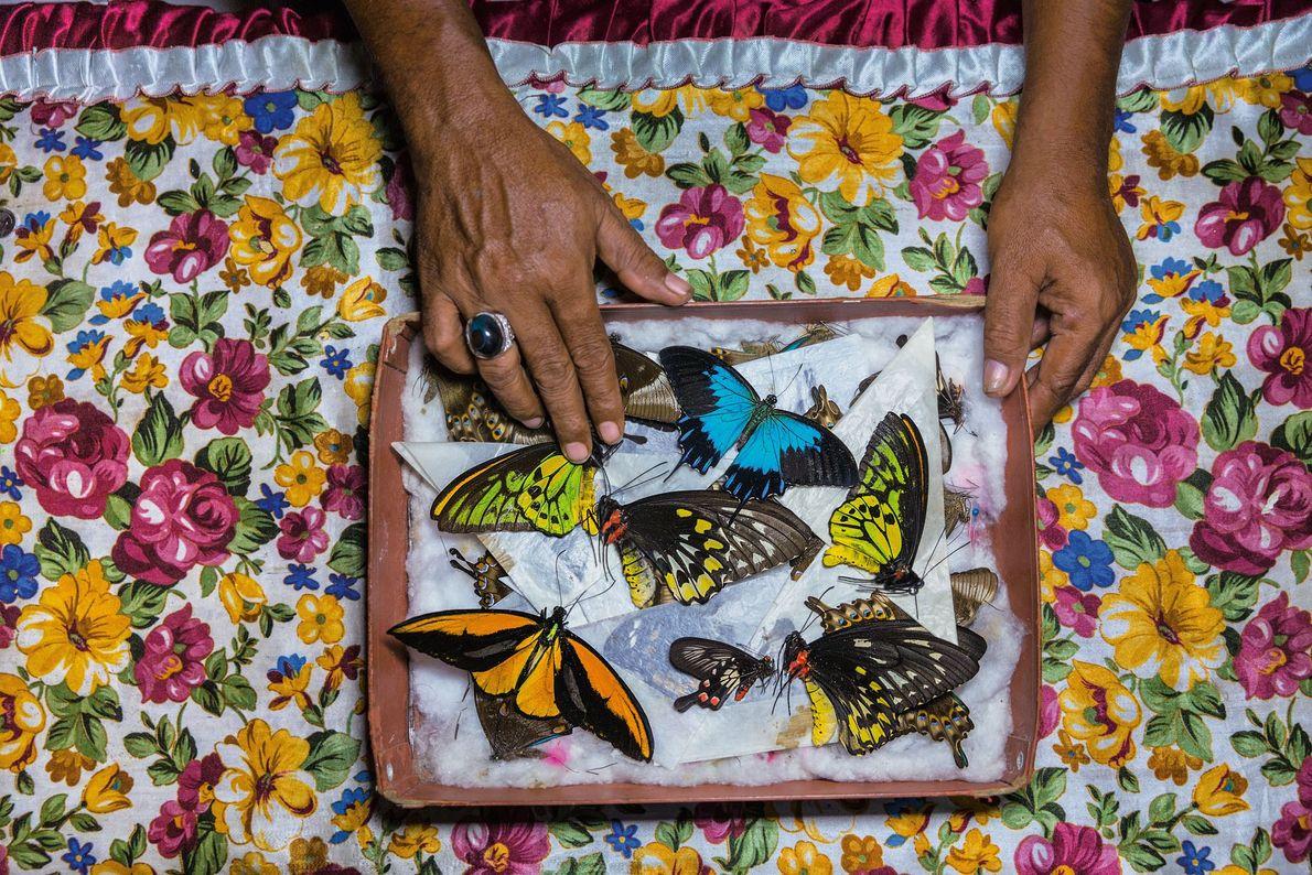 Um caçador de borboletas na Ilha Bacan, Indonésia, separa seus espécimes para vendê-los em Bali. Dali, ...