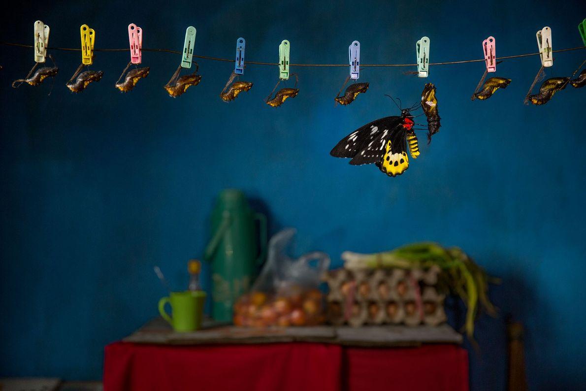 Uma borboleta de Goliath termina sua transformação na casa de um turista na Papua Ocidental, Indonésia. ...
