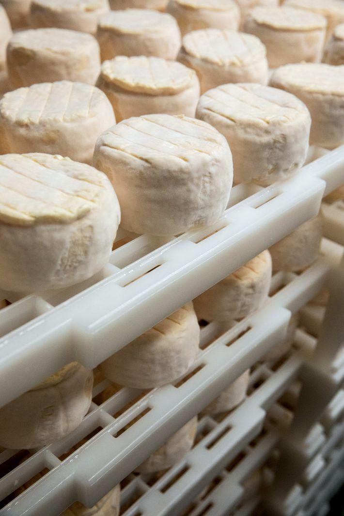Após o processo de secagem, o queijo é envelhecido por três semanas, antes de ser embalado ...