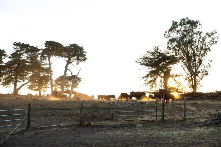 Ao pôr-do-sol na propriedade Ramini Mozzarella, bezerros de búfalos-asiáticos correm pelo campo para se reencontrarem com ...
