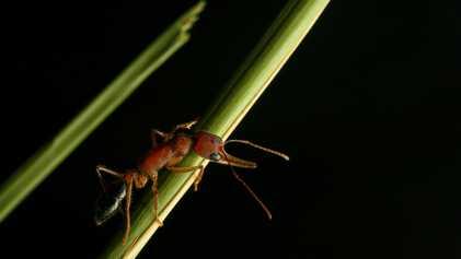Essas formigas conseguem encolher e expandir seus cérebros