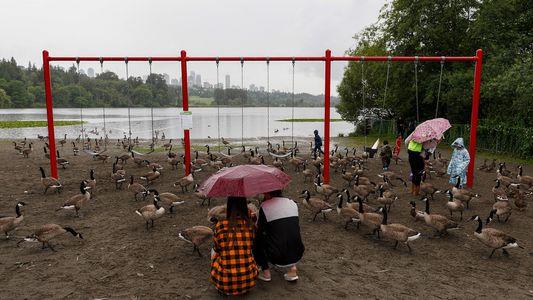 Os gansos-do-canadá ainda migram para o sul no inverno?