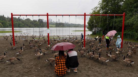 Gansos-do-canadá em um parque infantil no Deer Lake Park, em Colúmbia Britânica, Canadá, em julho de ...