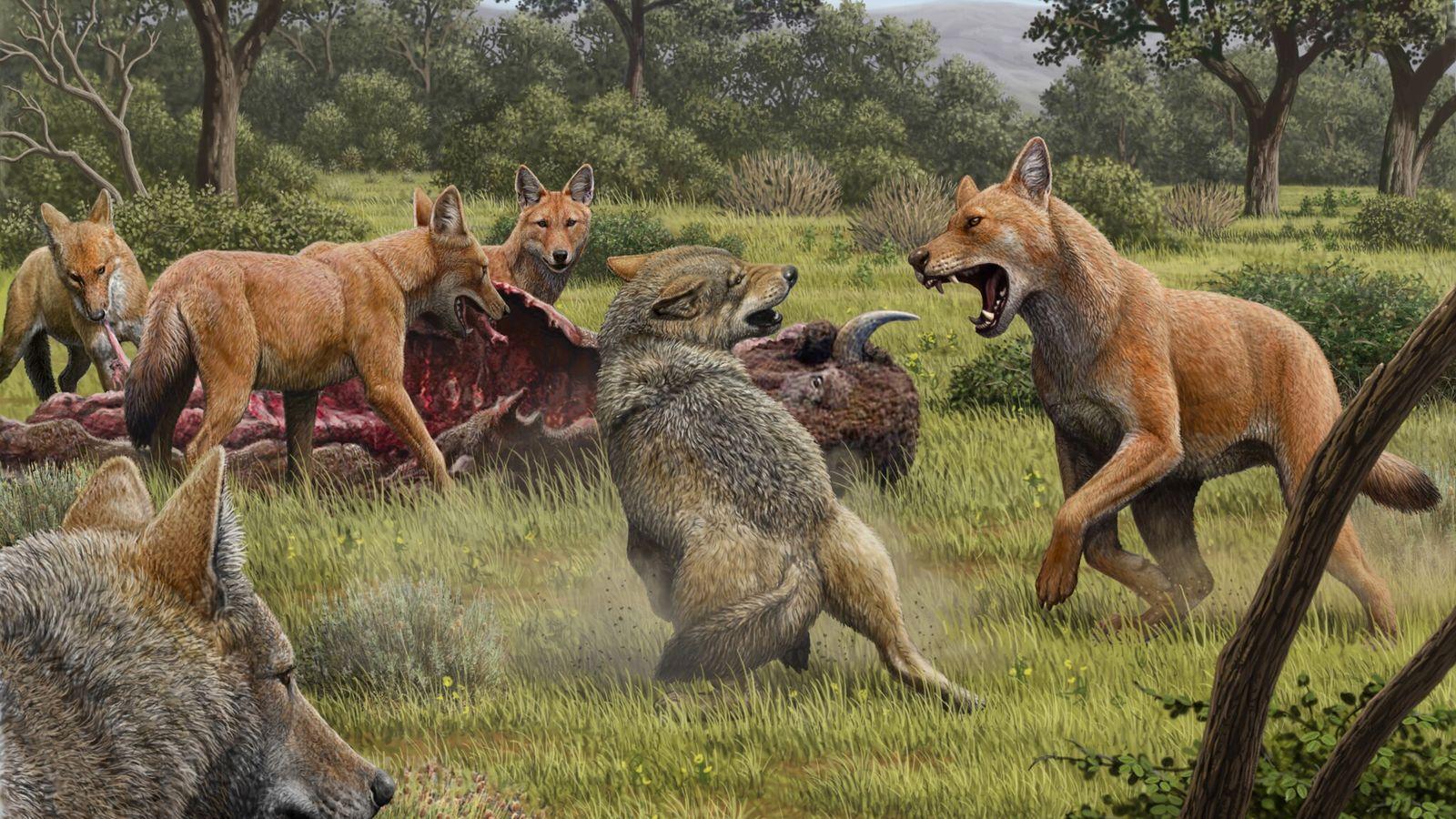 Lobos pré-históricos, de pelagem avermelhada, enfrentando lobos-cinzentos. Essa imagem foi criada pelo artista Mauricio Anton em ...