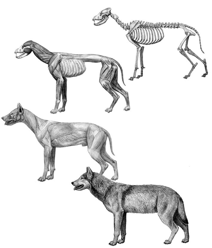 Drawing the dire wolf