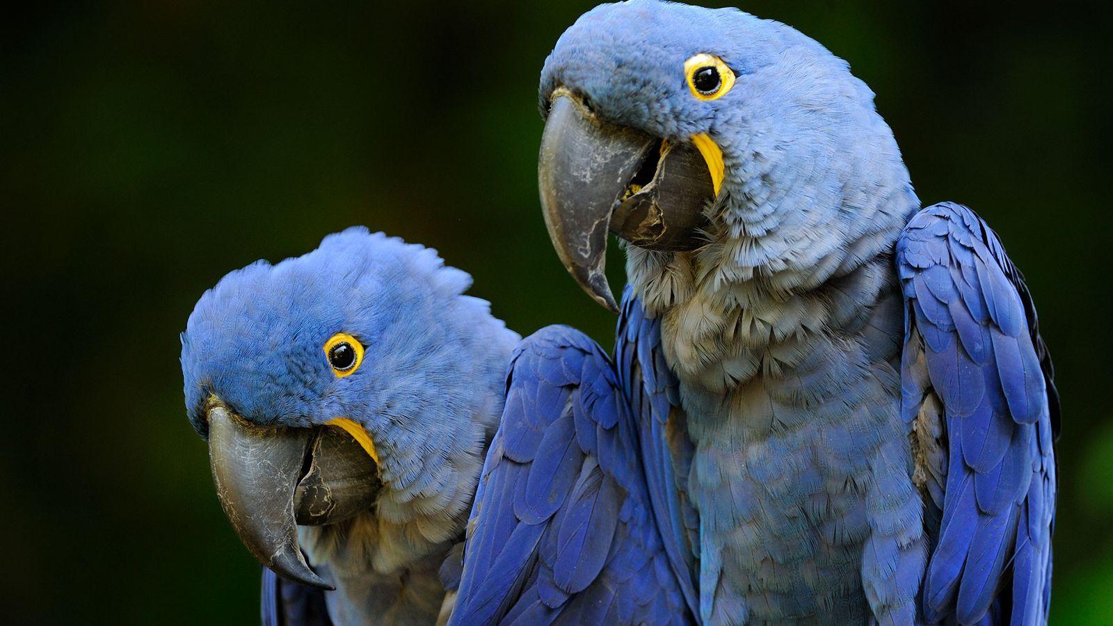 A compra e a venda de araras-azuis capturadas na natureza são proibidas. Embora seja legal comercializar ...