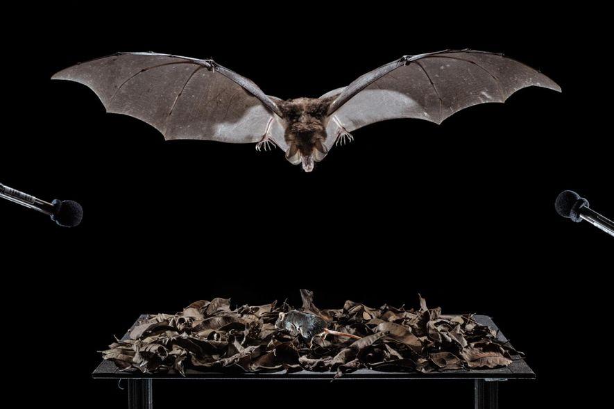 Na gaiola, um morcego-espectral fica de olho no rato que se move entre as folhas na ...
