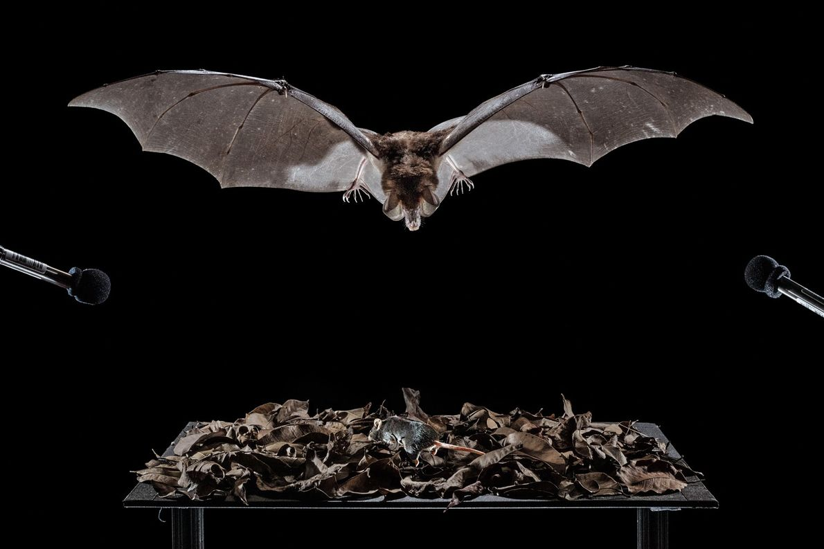 Um morcego-espectral dentro de uma gaiola avança sobre um rato de laboratório em uma mesa coberta ...
