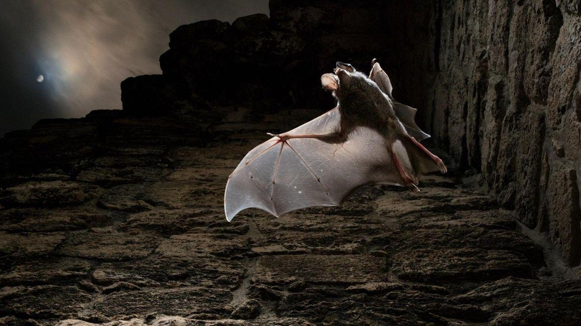 Os segredos dos morcegos carnívoros do México