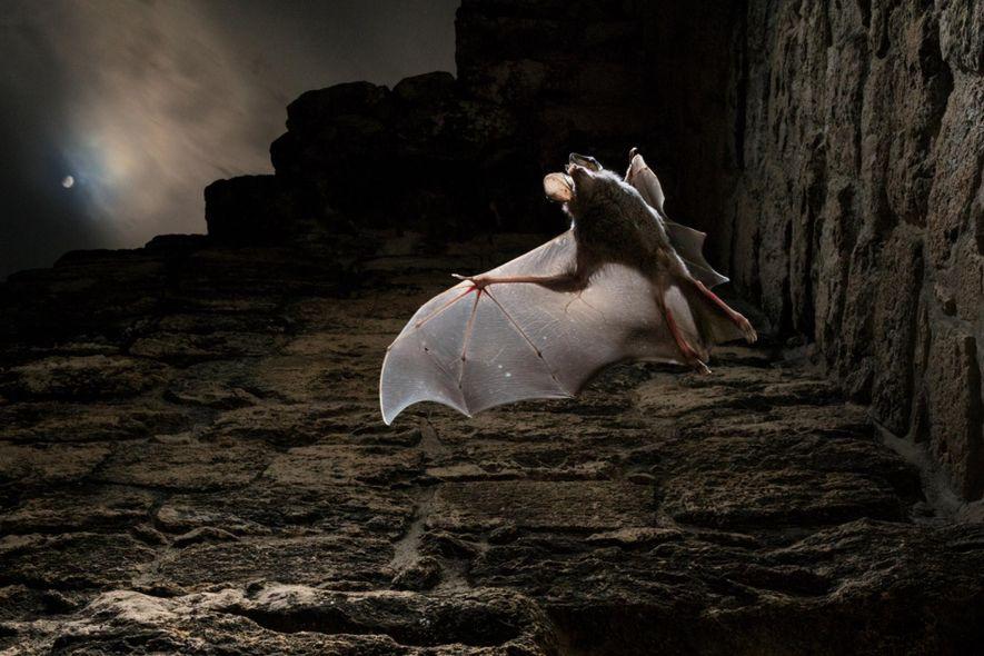 Numa noite enluarada, um andirá-açu voa em busca de refeição. Para roedores e outros animais pequenos ...