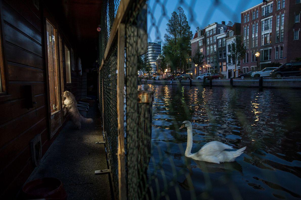 Um cisne nada próximo ao Catboat.
