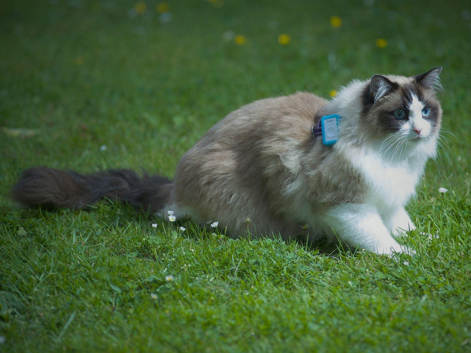 Cada gato que participou do estudo utilizou uma espécie de coleira com GPS durante uma semana ...