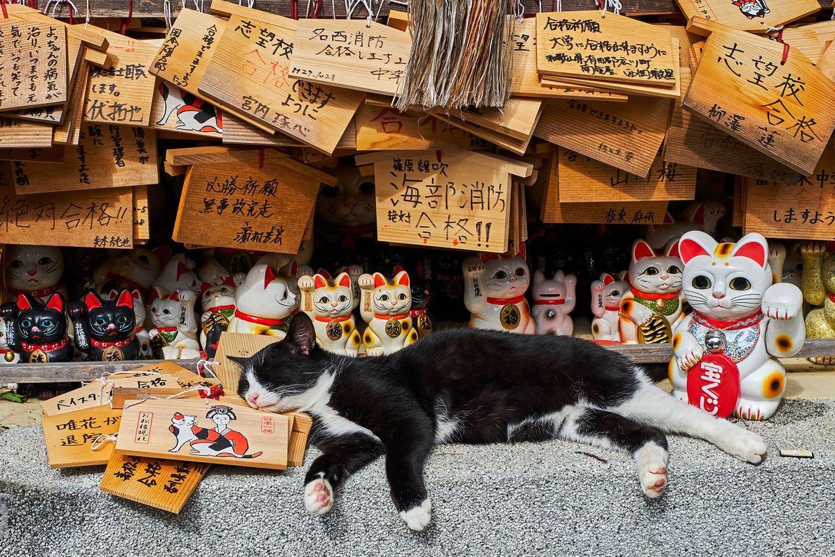 """Um gato deitado entre maneki-neko, ou estátuas de """"gato acenando"""" em um templo de felinos no ..."""