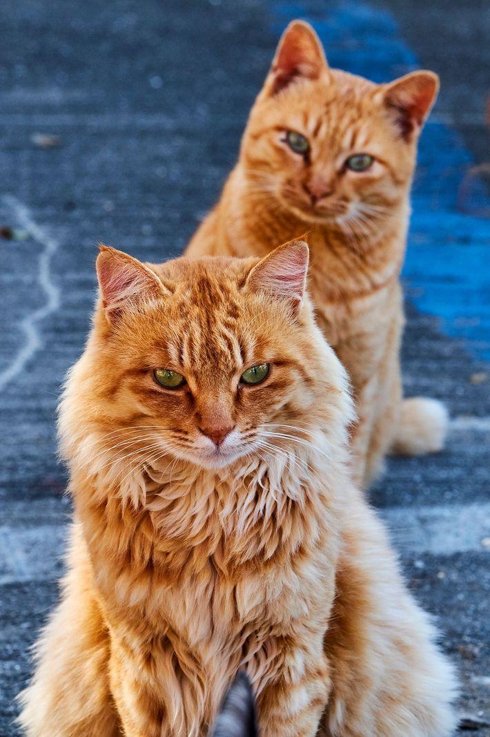 """Um bichano laranja observa outro em uma """"ilha de gatos"""" no Japão."""