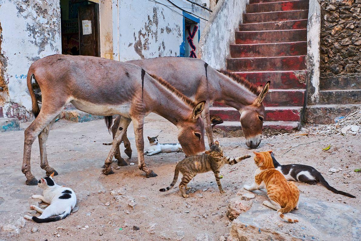 Além da densa população de gatos de rua, Lamu também é lar para milhares de jumentos.