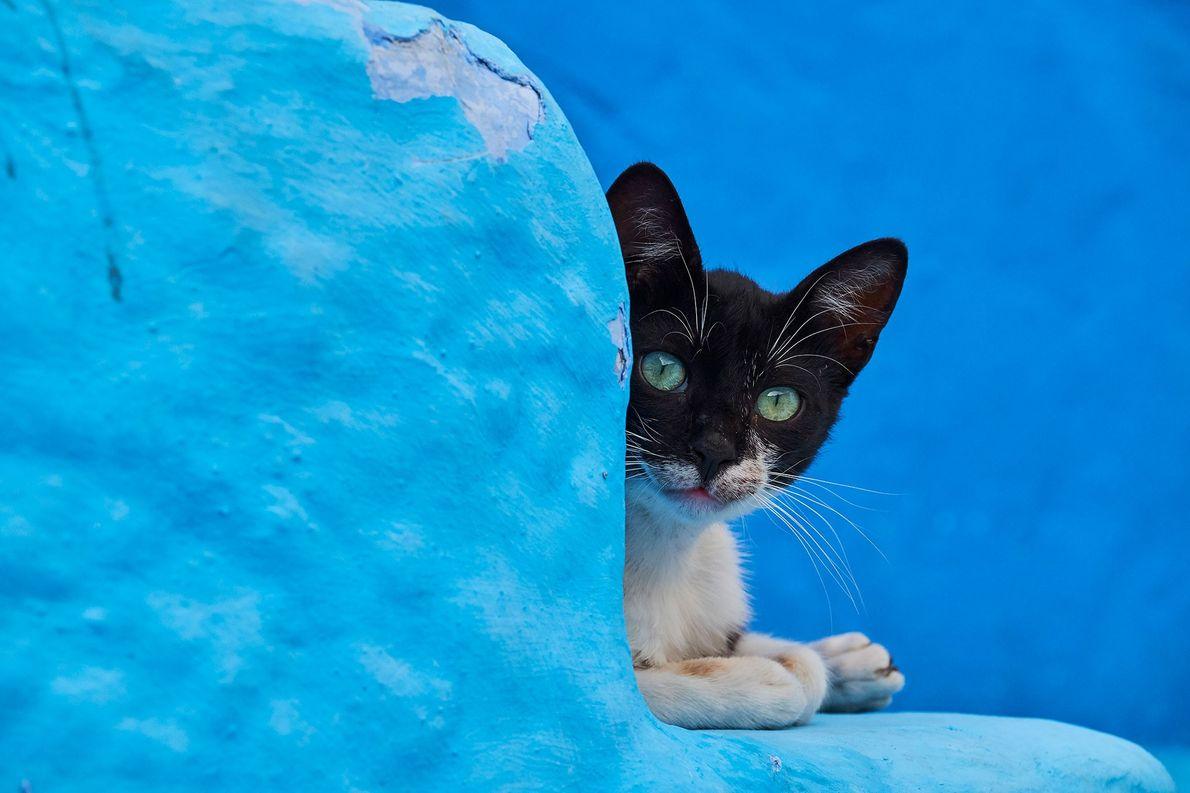 Um gato observa por trás de uma parede azul na cidade de Chefchaouen, no norte do …