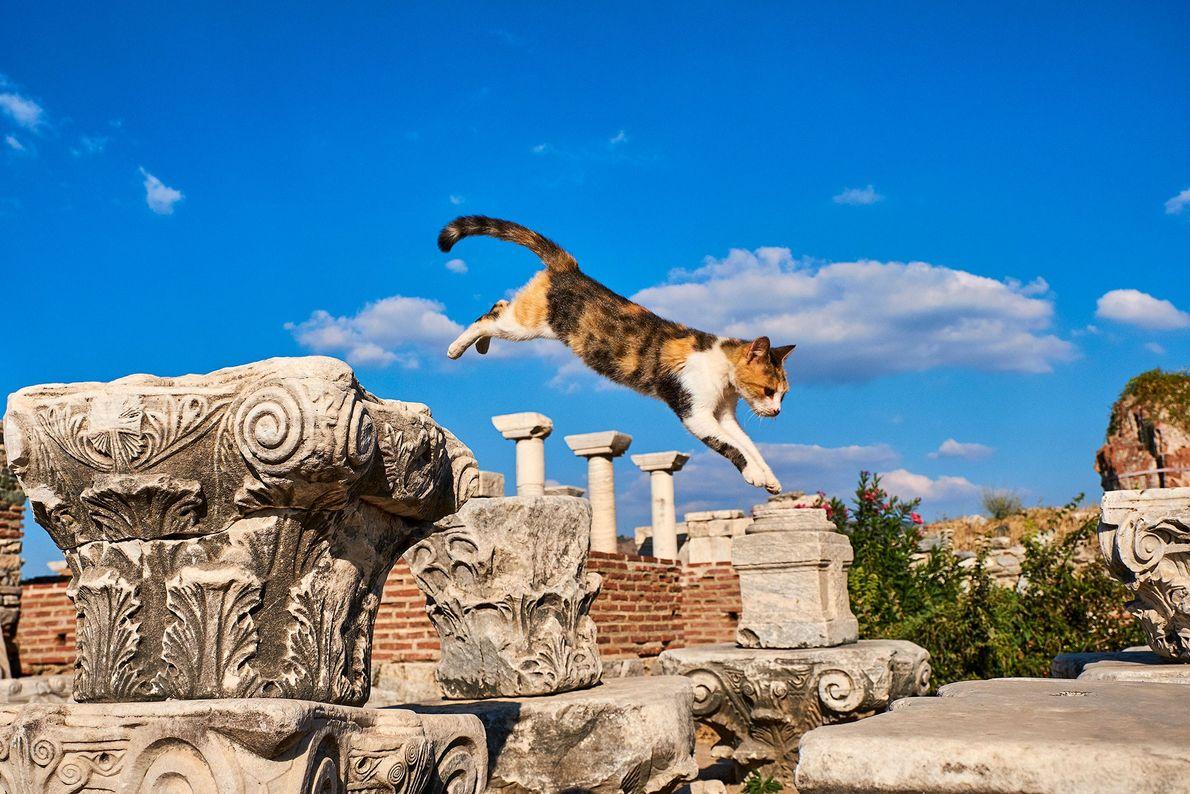 Éfeso, uma antiga cidade portuária romana, abriga diversos felinos. O fotógrafo flagrou esse gato de chita ...