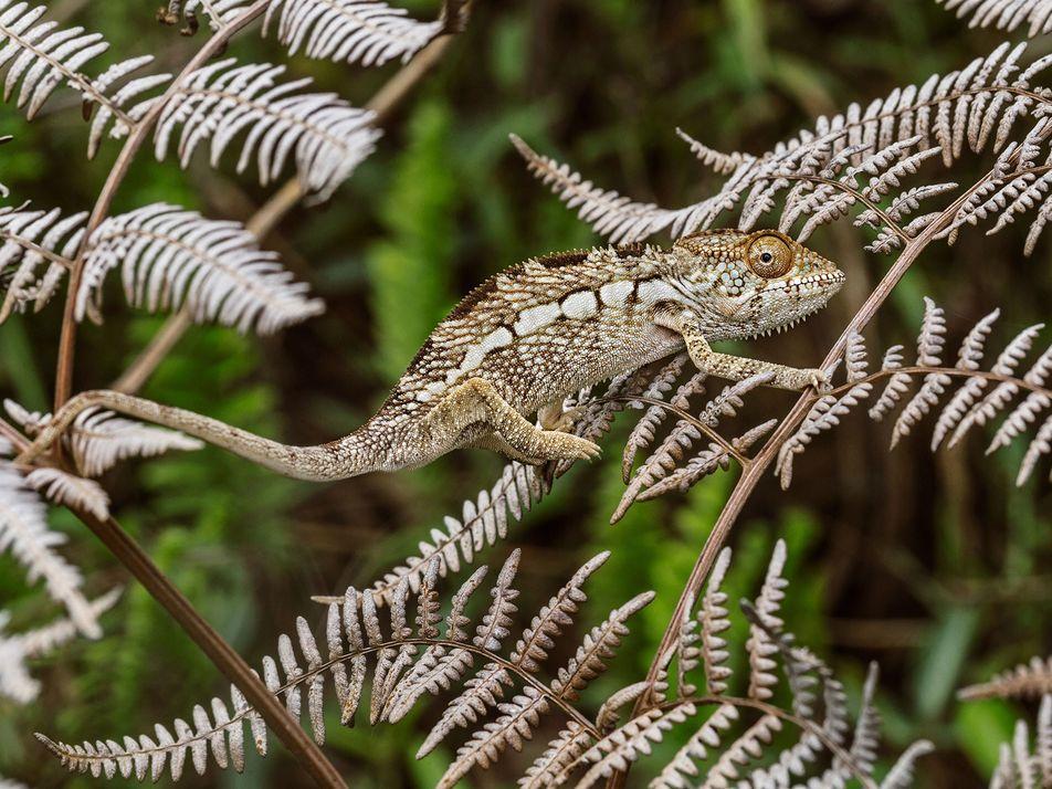 Cores mais exuberantes dos camaleões não são para camuflagem. Saiba o real motivo