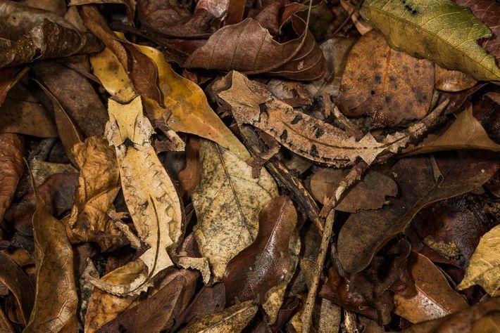Um camaleão-folha macho e uma fêmea da espécie Brookesia decaryi. Muitos camaleões já têm peles que ...