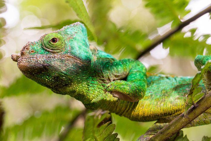 Um camaleão de Parson, Calumma parsonii, em Madagascar. Os camaleões guardam suas mudanças de cor mais ...
