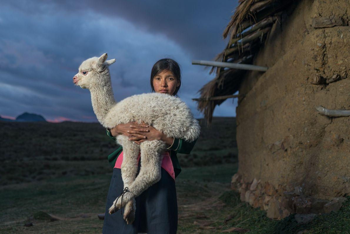 Danila, com quatorze anos, segura um filhote de alpaca perto de Huaylillas, nas montanhas do norte ...