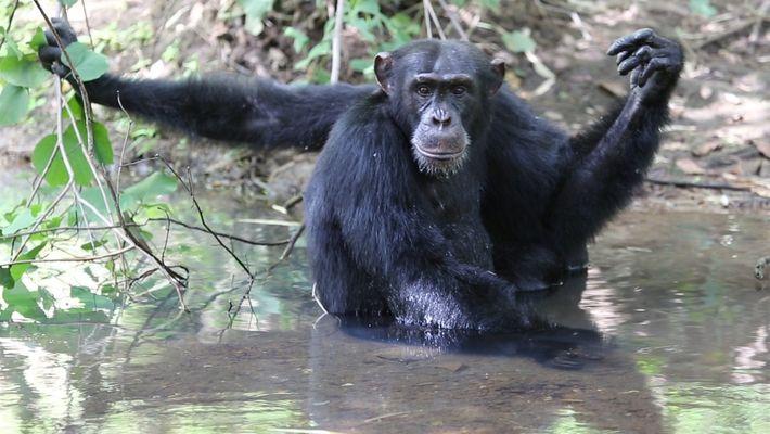 Assim como nós, estes chimpanzés pulam na água para se refrescarem