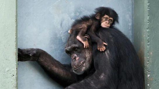 Um bebê chimpanzé abraça sua mãe. Esses grandes primatas compartilham cerca de 99% de seu DNA ...