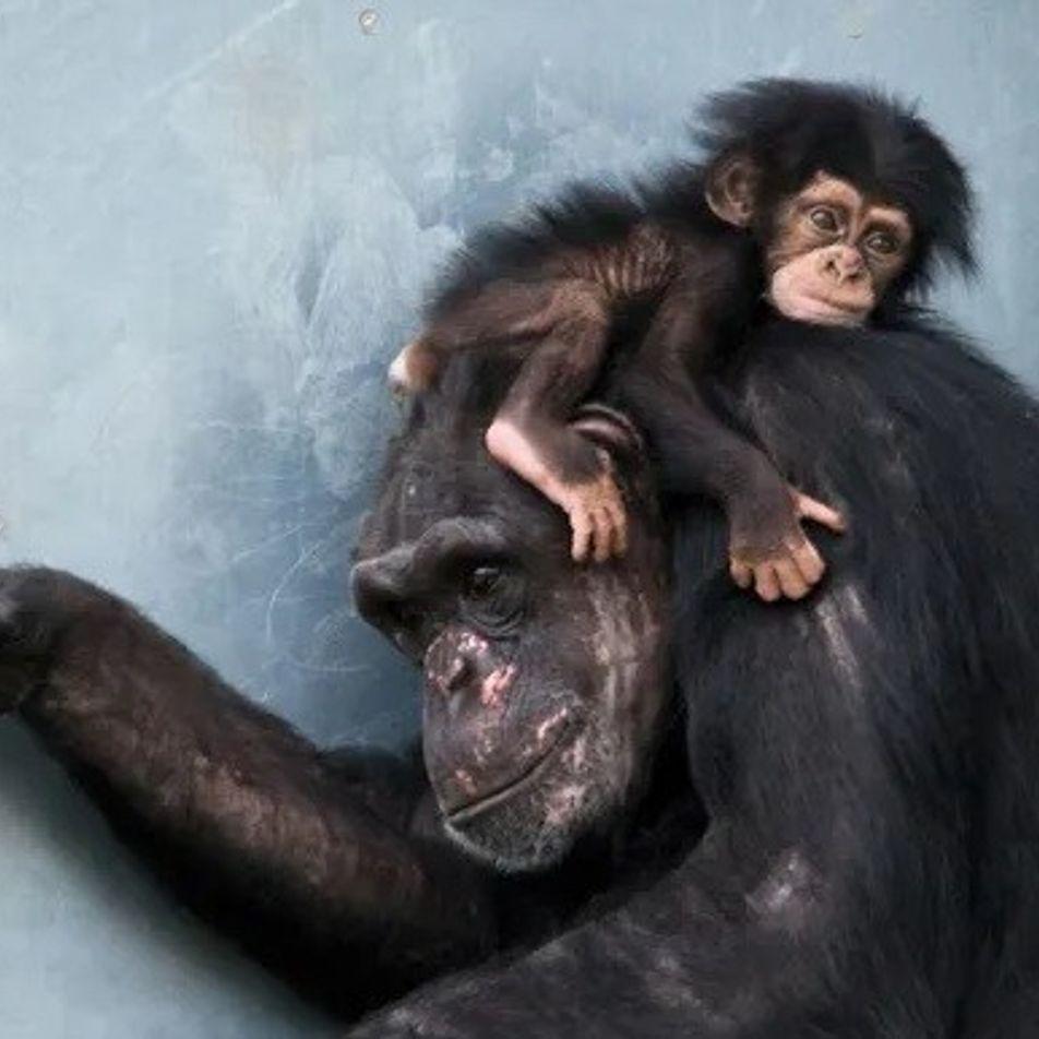 Mamães-chimpanzés são como nós: choram, fazem carinho e reservam um tempo só para elas