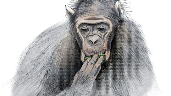 nganimals-2108-animals-conserving-water-graphics_chimpanzee