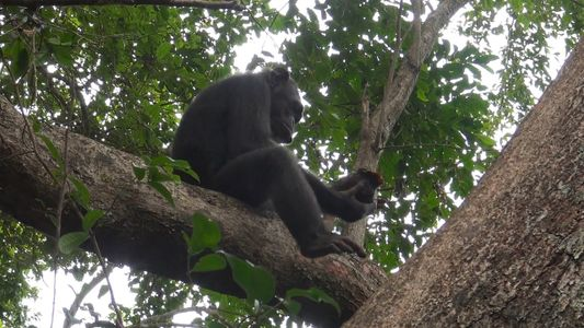 Imagens inéditas mostram chimpanzés tentando quebrar tartarugas para comê-las