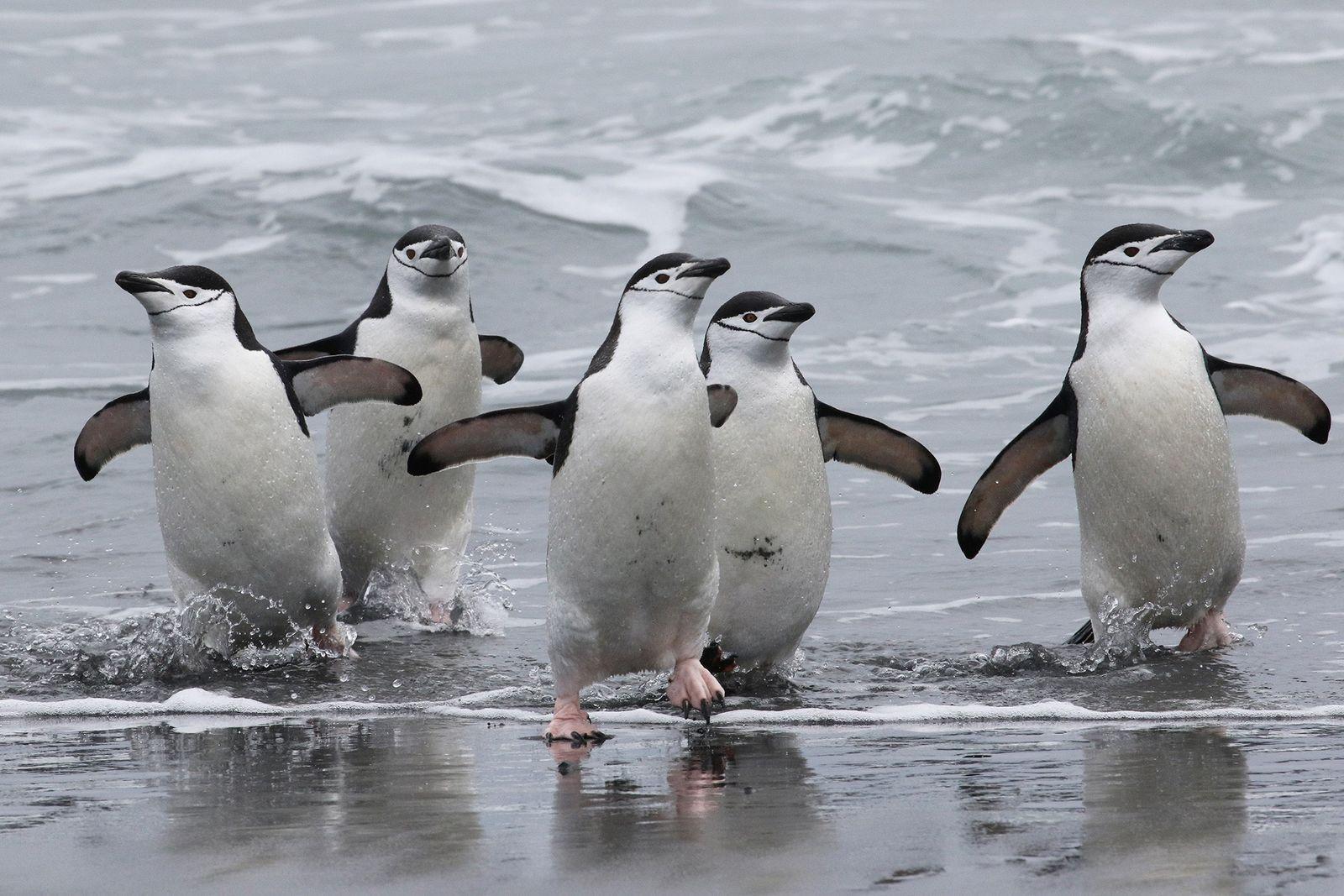 População de pinguins-de-barbicha pode ter reduzido em mais da metade em ilha de gelo