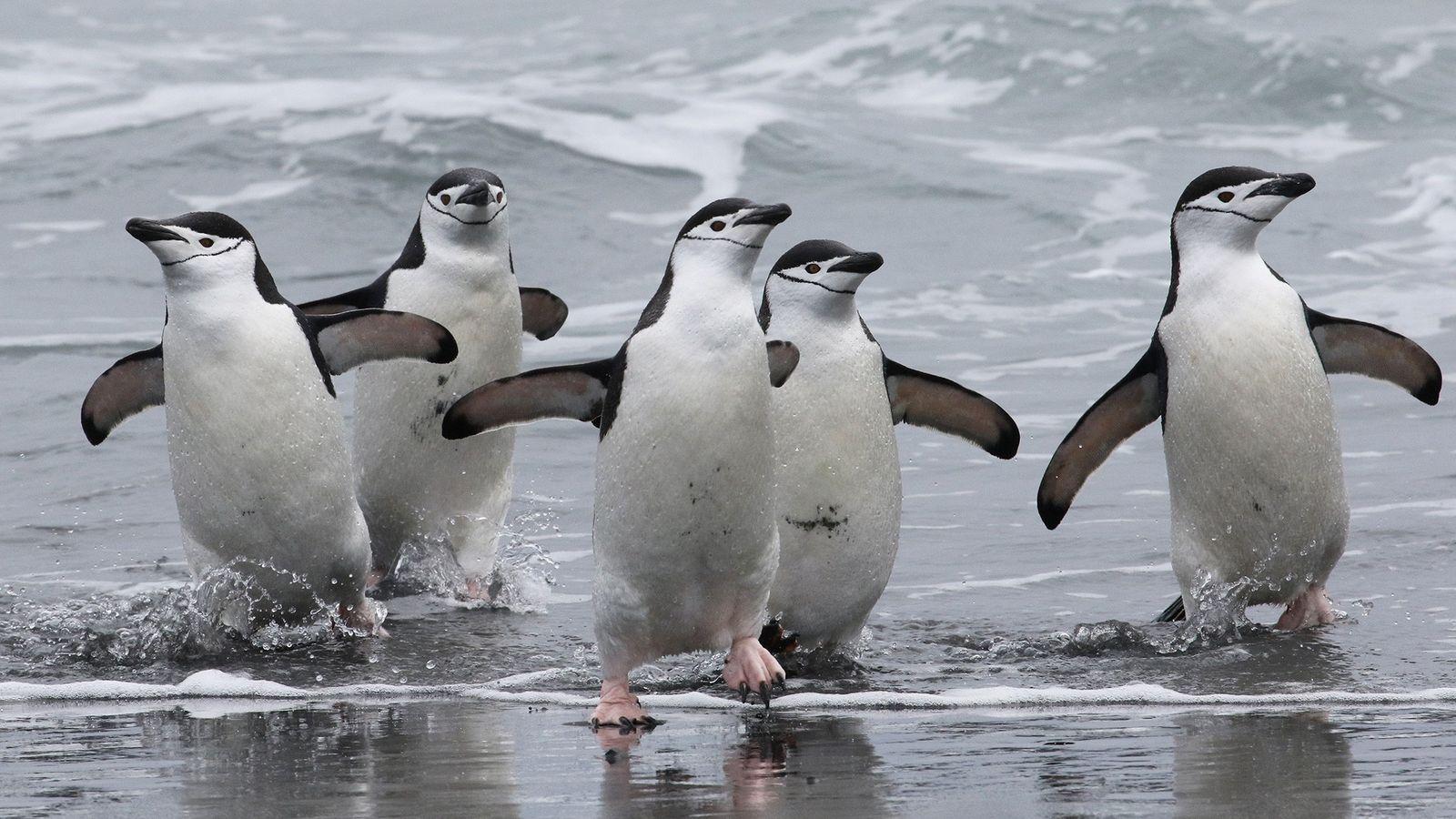 Pinguins-de-barbicha voltando para sua colônia em Stinker Point, na costa oeste da Ilha Elefante. As aves ...