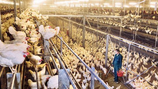 O consumo de frango, como esses da imagem na Holanda, em substituição à carne vermelha, pode ...