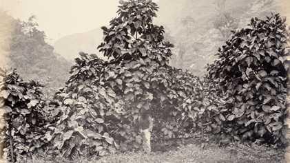 Chá de quina vendido no Brasil não combate o coronavírus e pode trazer riscos à saúde