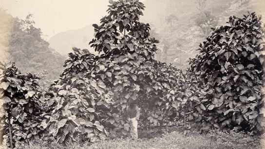 Cinchona succirubra, uma variedade de quina, também conhecida como Cinchona pubescens, em uma plantação do governo ...