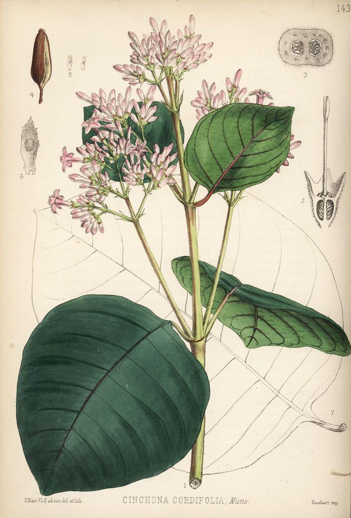 A cinchona-vermelha (Cinchona pubescens; também conhecida como Cinchona cordifolia) produz quinina, o composto antimalárico que é ...