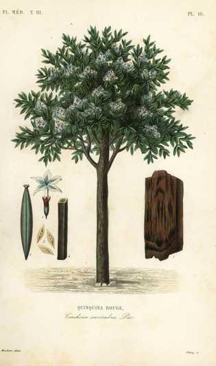 Árvore cinchona-vermelha (Cinchona pubescens; também conhecida como Cinchona succirubra). Gravura em aço colorida à mão por ...