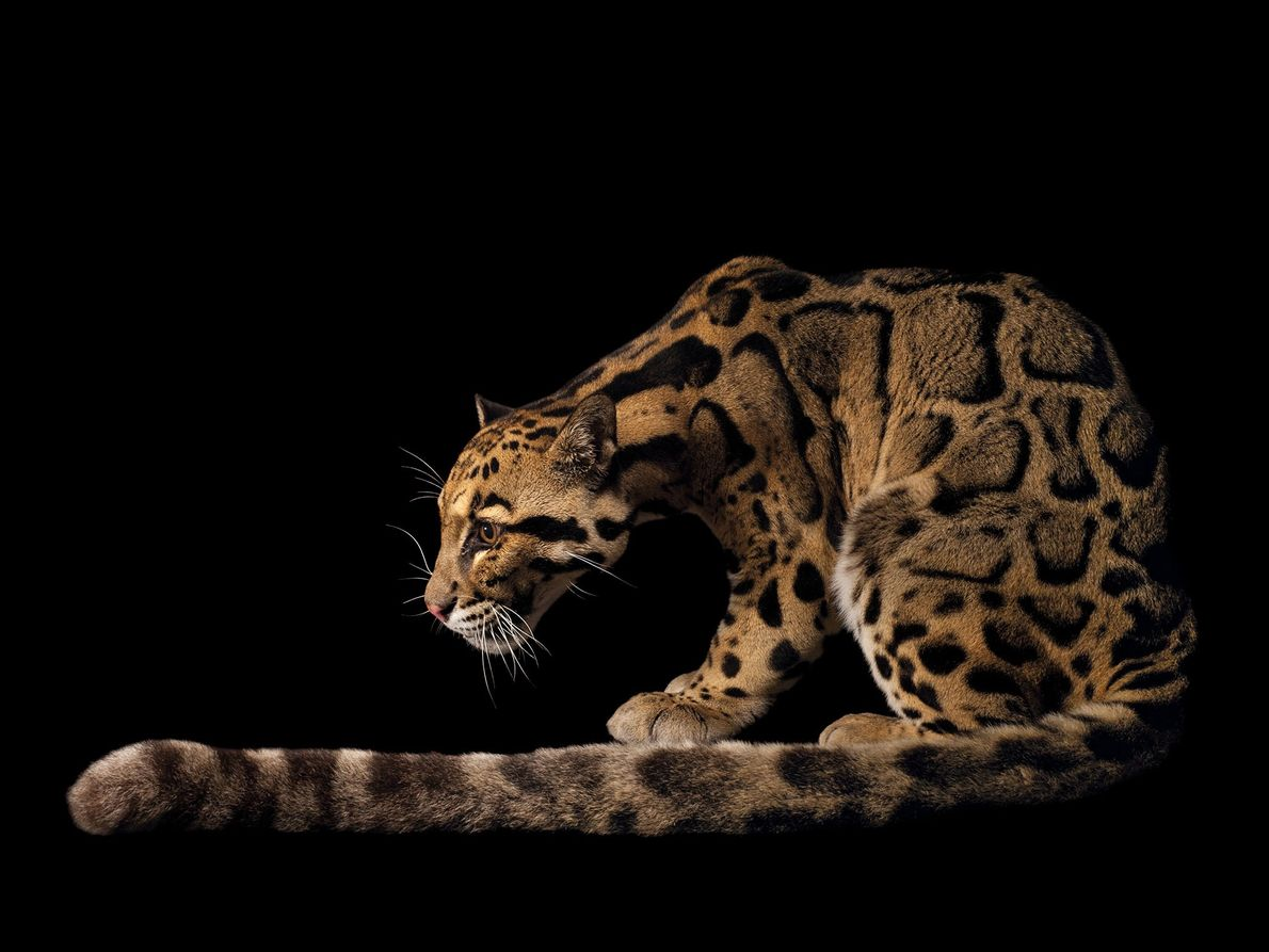 Leopardo-nebuloso, Neofelis nebulosa (vulnerável)