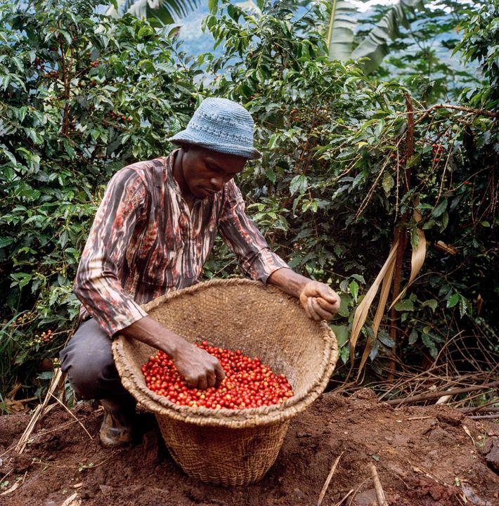 A qualidade superior das cerejas vermelhas mais volumosas rende o melhor preço no mercado, então os ...
