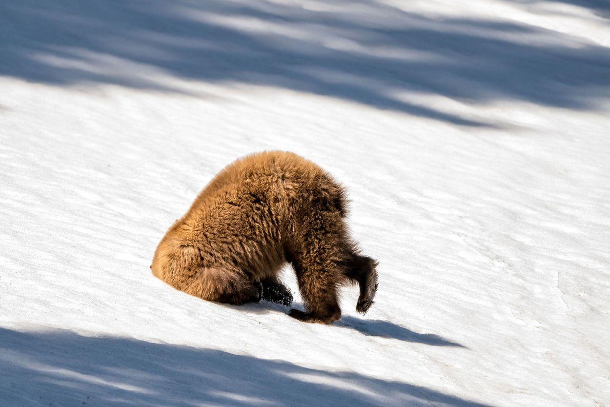 Este urso-pardo no Parque Nacional de Yellowstone parecia estar tendo um dia ruim.