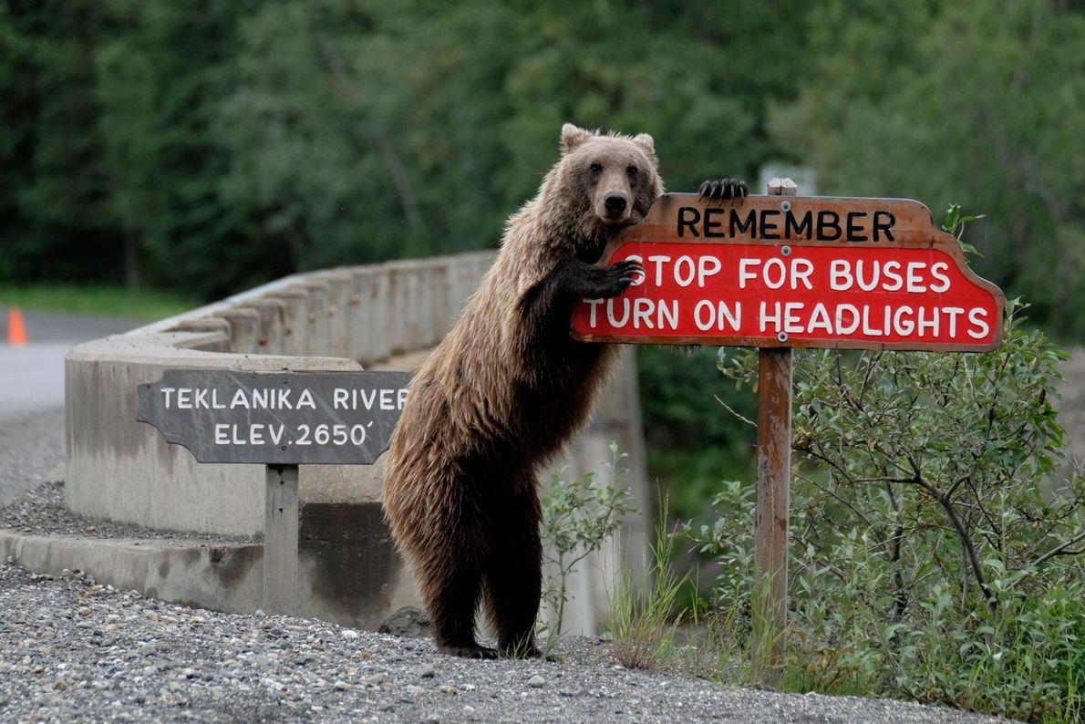 Um urso-pardo no Alasca cuida da segurança dos motoristas no trânsito.