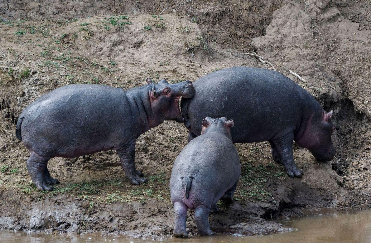 Um hipopótamo com os olhos maiores que a barriga em Maasai Mara, no Quênia.