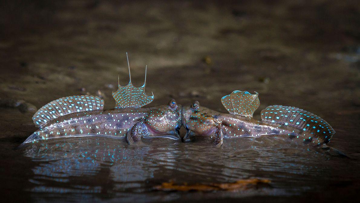 Pegos no ato: Dois saltadores-do-lodo em Krabi, na Tailândia, compartilham um momento íntimo.