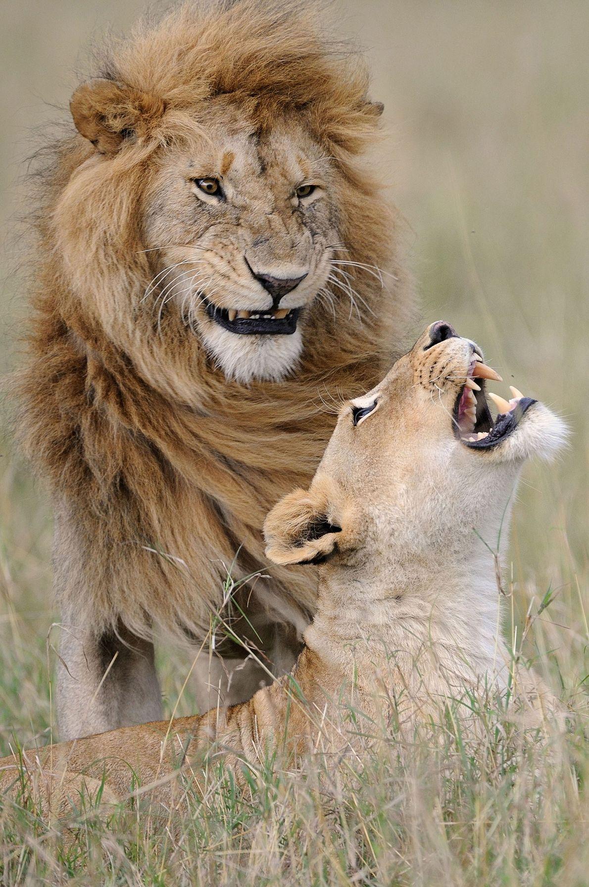 """""""Depois de todos esses anos, ele ainda me faz rir"""" diz uma leoa em Maasai Mara, ..."""