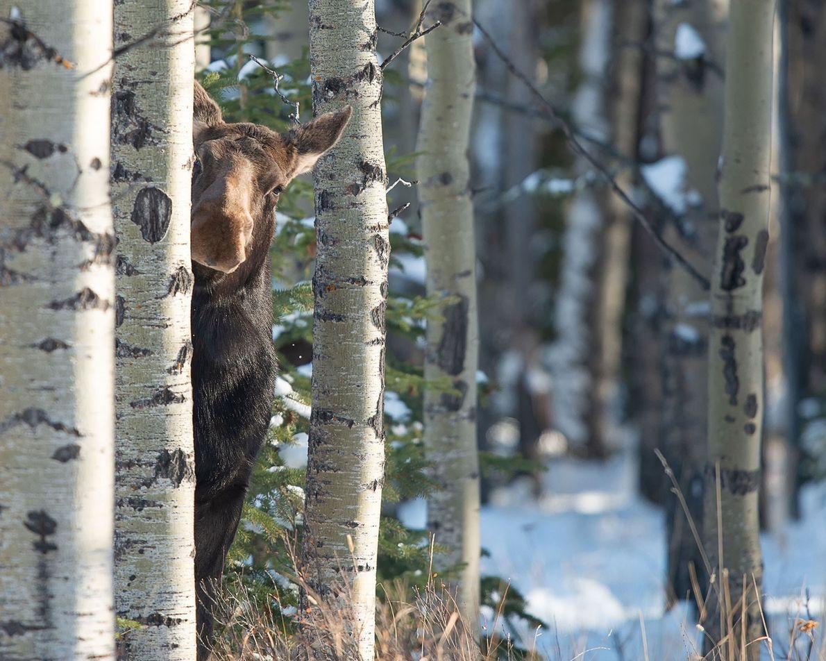 Mestre dos disfarces: Uma alce fêmea sorrateira espreita por detrás de uma árvore em Alberta, no ...