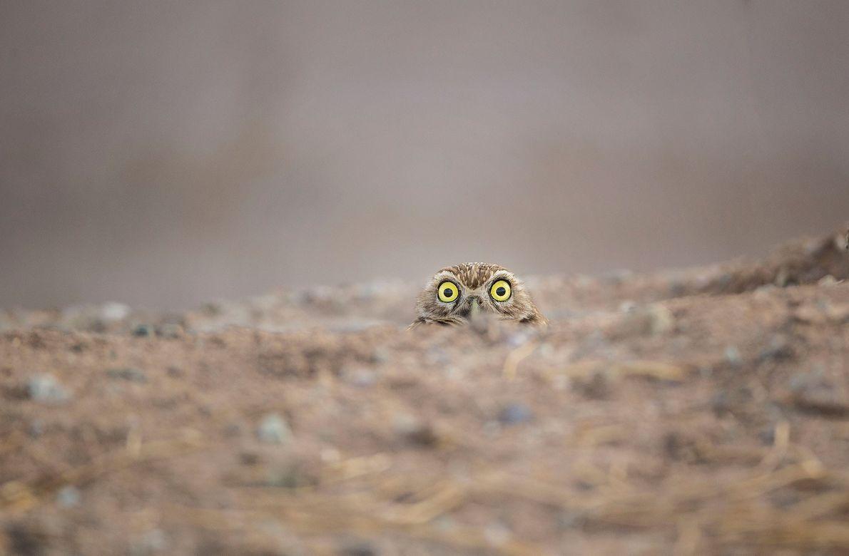 Eles ainda estão olhando? Uma curiosa coruja espia do chão.