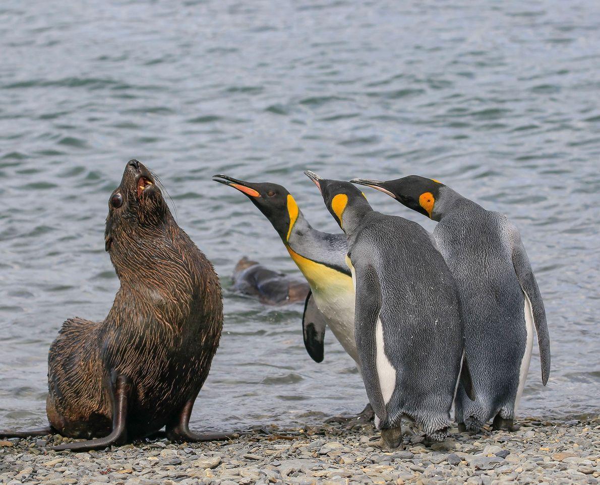 Não fui eu, eu juro! Estes pinguins-rei claramente não ficaram felizes com a presença de um ...