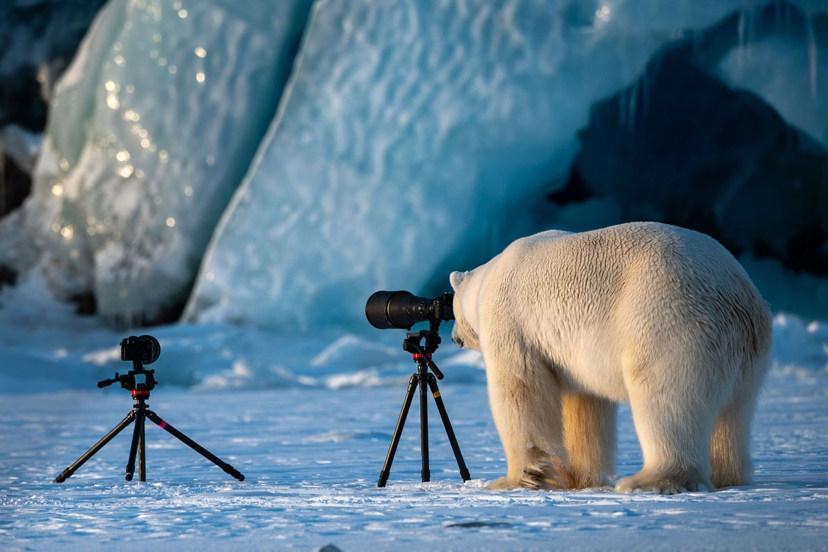 O jogo virou em Svalbard, Noruega, quando este urso polar decide testar suas habilidades em fotografia.